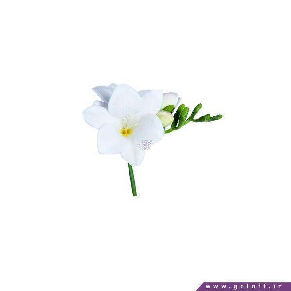 گل فریزیا