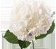 گل اورتانزیا وایت