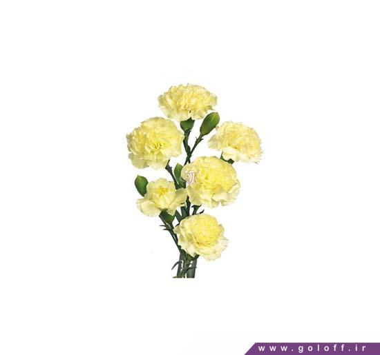 گل میخک مینیاتوری ژانته - Miniature Carnation | گل آف